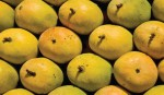 Mangoes being exported to Europe