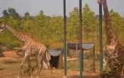 2 giraffes die at Gazipur Safari Park