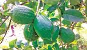 Colombo Lemon brings fortune for marginal farmers in Narsingdi