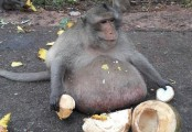 Thailand has an obese monkey called 'Uncle Fat' and he is now on a strict diet (Video)