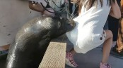 Sea lion jumps and drags young girl into water (Video)