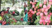 Litchi business creates huge jobs in Rangpur division