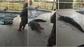 Family shocked to find 8-foot-long alligator in backyard pool (Video)