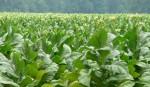 Nasim for alternative livelihood for tobacco growers
