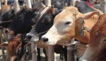 Madras HC suspends controversial cow slaughter ban