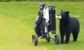 A big black hungry bear interrupts golf game, steals snacks (Video)