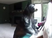 Bear breaks into Vail apartment, plays piano (Video)