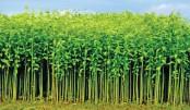 Bumper jute production likely in Rangpur region