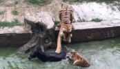 Live Donkey fed to tigers at Chinese zoo (Video)