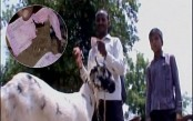 Hungry goat chews Rs 66,000 from owner's pocket