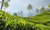 In Assam's fragrant tea gardens