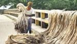 Jute production may exceed target in Rajshahi region
