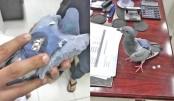 Backpack-wearing pigeon  deliver drugs?