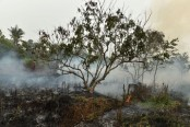 Tropical peat forests risk turning from carbon