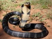 Venomous snake bites man, man bites wife to 'die together'