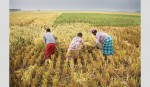 Bill placed to establish wheat,  maize research institute