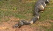 A 15-feet-long python swallowed a whole goat (Video)