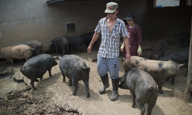 China 'backyard' pig farmers squeezed as sector scales up
