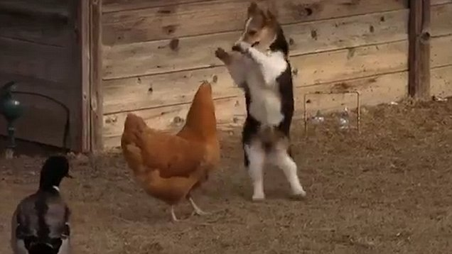 Cutest brawl among corgi, chicken and duck (Video)