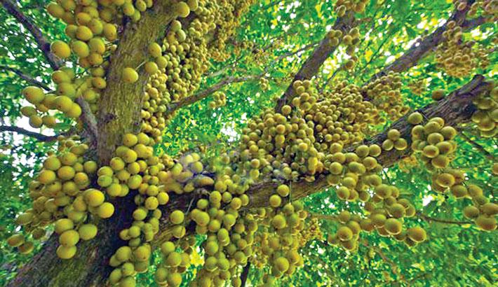 Bumper Lotkan yield delights growers in Narsingdi