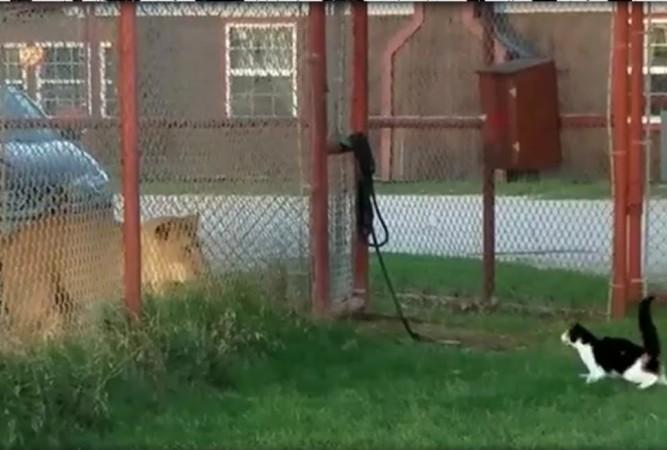 Brave house cat challenges lion (Video)