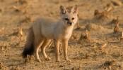 15 bitten by fox in Munshiganj