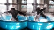 This gorilla is dancing in a pool like he's in 'Flashdance' (Video)