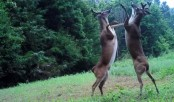Two Deer fighting while standing on hind legs (Video)