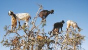 Tree-climbing goats aid farming in Morocco