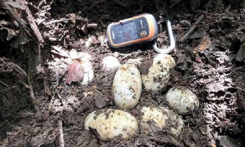 Rare Siamese crocodile eggs found In Cambodia