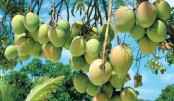 'Haribhanga mango to become famous globally'