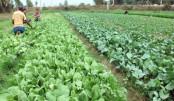 Rajshahi farmers grow  chemical-free vegs