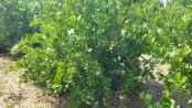 Lemon brings smile on growers' face