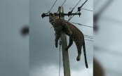 Horrified people filmed leopard electrocuted at top of 12-foot pole