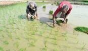 Aush paddy transplantation  completed in Rajshahi