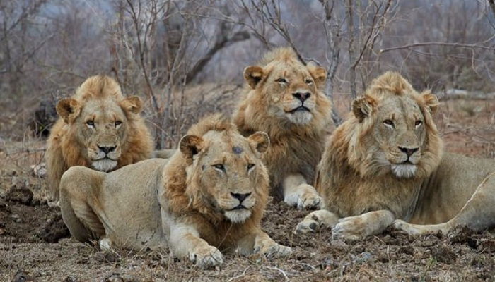 Four lions escape from S.Africa's Kruger Park