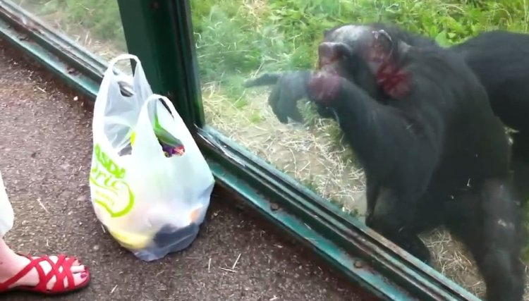 Smart chimp asks zoo visitors for drink (Video)