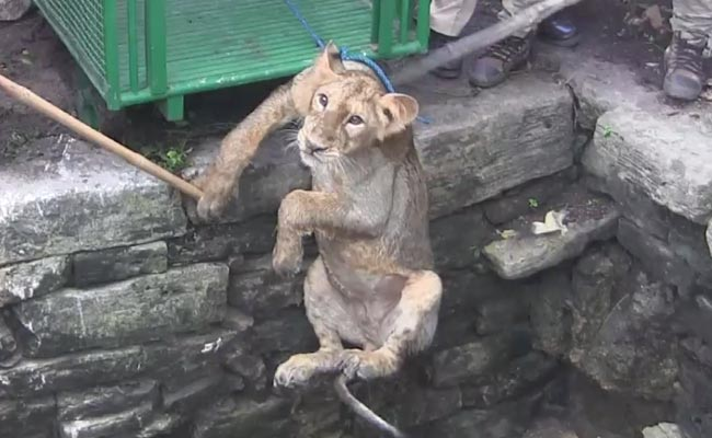 Lion cub rescued from 80-feet well (Video)
