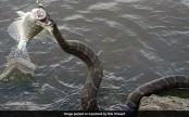 Snake comes out of water, steals, eats fish caught by fisherman (See pics)