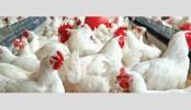 Poultry industry in Joypurhat faces setback