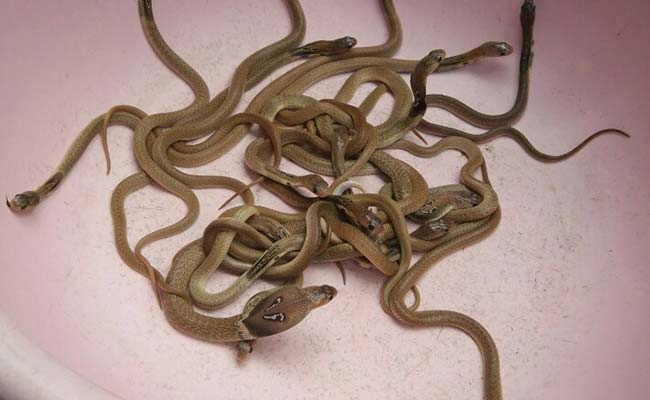 27 cobras found at a Munshiganj home