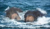 Sri Lankan navy rescue two wild elephants from sea after 12-hr hectic drive