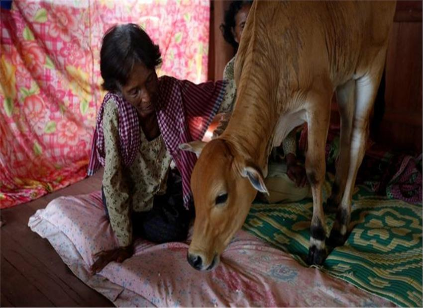 Cambodian woman marries calf, thought to be her husband (Video)