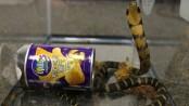 Live cobras found inside potato chip cans