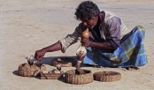 India blesses its snakes as charmers face the venom of modern life