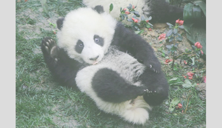 Anger at 'panda cruelty video' in China