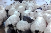 Wild rabbits in New Zealand hitch a ride on sheeps to escape floods