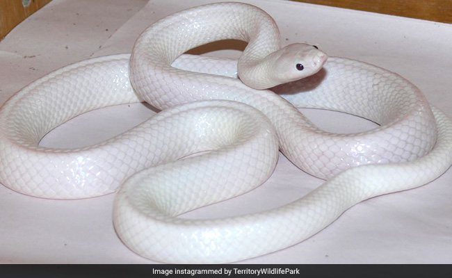 Incredibly rare white snake found in Australia