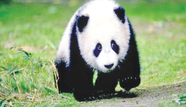 French surviving baby panda in 'perfect health'
