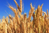 How crops are losing protein due to global warming